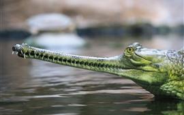 Gharial, крокодил, голова, рот, зубы