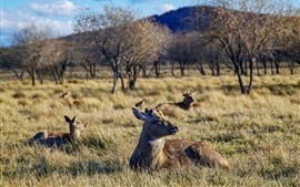 Preview wallpaper Grassland, trees, deers, wildlife