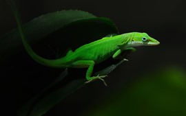 Preview wallpaper Green lizard, black background