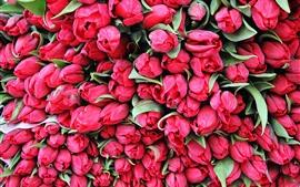 Много красных тюльпанов, фон цветы