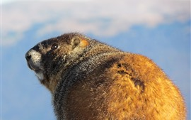 Preview wallpaper Marmot, look back