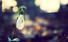 Preview wallpaper One snowdrops bud
