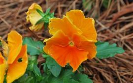 Оранжевые цветы крупным планом, зеленые листья
