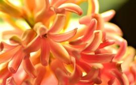 Flores de jacinto naranja, pétalos