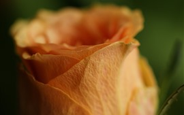 Preview wallpaper Orange rose macro photography, petals
