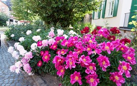 Preview wallpaper Pink and white peonies, flower bed, houses