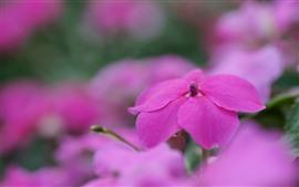 Rosa kleine Blumennahaufnahme, Blumenblätter, Frühling