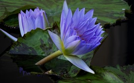 Preview wallpaper Purple water lily, pond