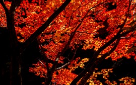 Preview wallpaper Red maple leaves, trees, autumn