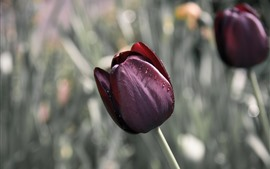 Красные тюльпаны, капли воды, туманный фон