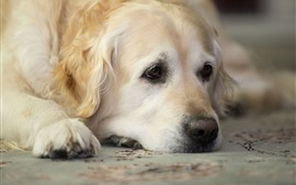 Preview wallpaper Sadness golden retriever