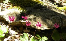 Некоторые розовые цветы, камни