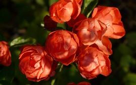 Algumas rosas vermelhas florescem, luz do sol