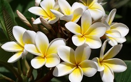 Preview wallpaper Some yellow plumeria flowers