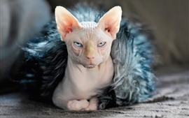 Preview wallpaper Sphynx cat, face, look