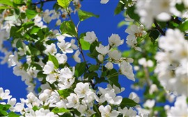 Preview wallpaper Spring, white apple flowers bloom
