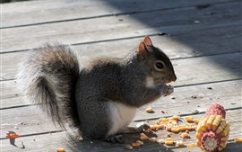 Preview wallpaper Squirrel eating corn
