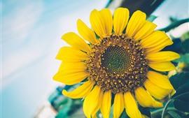 미리보기 배경 화면 해바라기, 노란 꽃잎