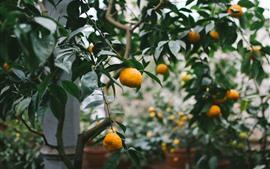 Tangerines, harvest, fruit