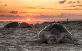 Tartaruga, praia, pôr do sol