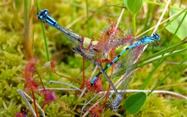 Two dragonflies, grass