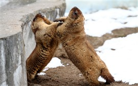 Two marmots playful