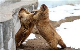 Aperçu fond d'écran Deux marmottes enjouées