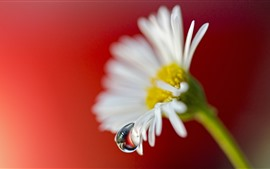 Preview wallpaper White chamomile flower, dew, red background