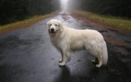 Белая собака, дорога, деревья, туман