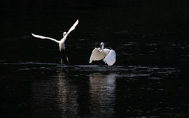 Preview wallpaper White heron, hunting fish, lake