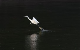 Preview wallpaper White heron take off