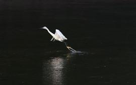 Garça branca decolar