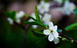 Preview wallpaper White plum flowers bloom, spring