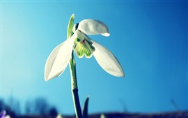 Preview wallpaper White snowdrop, blue sky background