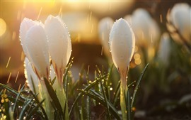 Snowdrops brancos, chuva