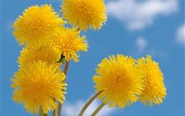 Желтые цветы одуванчика, голубое небо