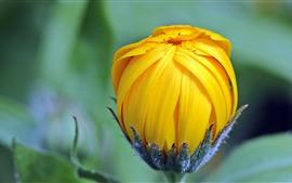Flor em botão amarelo, malmequeres, calêndula