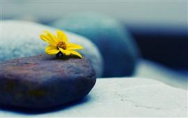 Желтый цветок, камни