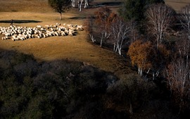 Preview wallpaper Autumn, trees, sheep