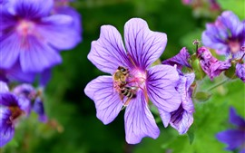 미리보기 배경 화면 꿀벌, 꽃가루, 보라색 꽃