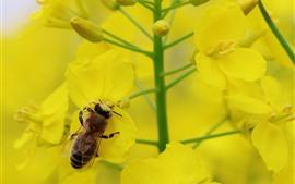 Abelha, flores de colza, pétalas amarelas