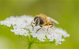 Preview wallpaper Bee, white little flowers, insect