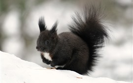 Preview wallpaper Black squirrel, winter, snow