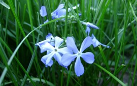 Blue flowers close-up, petals, green grass