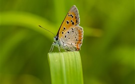 Butterfly, wings, green grass leaf