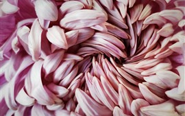 Chrysanthemum pink petals macro photography