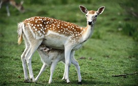 Preview wallpaper Deer mother and baby