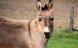 Donkey, look, mane