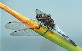 Preview wallpaper Dragonfly, insect, grass leaf