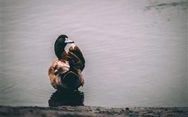 Pato, lagoa, vista traseira